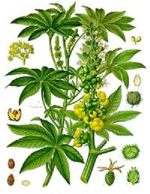 la plante de ricin qui produit l'huile de ricin